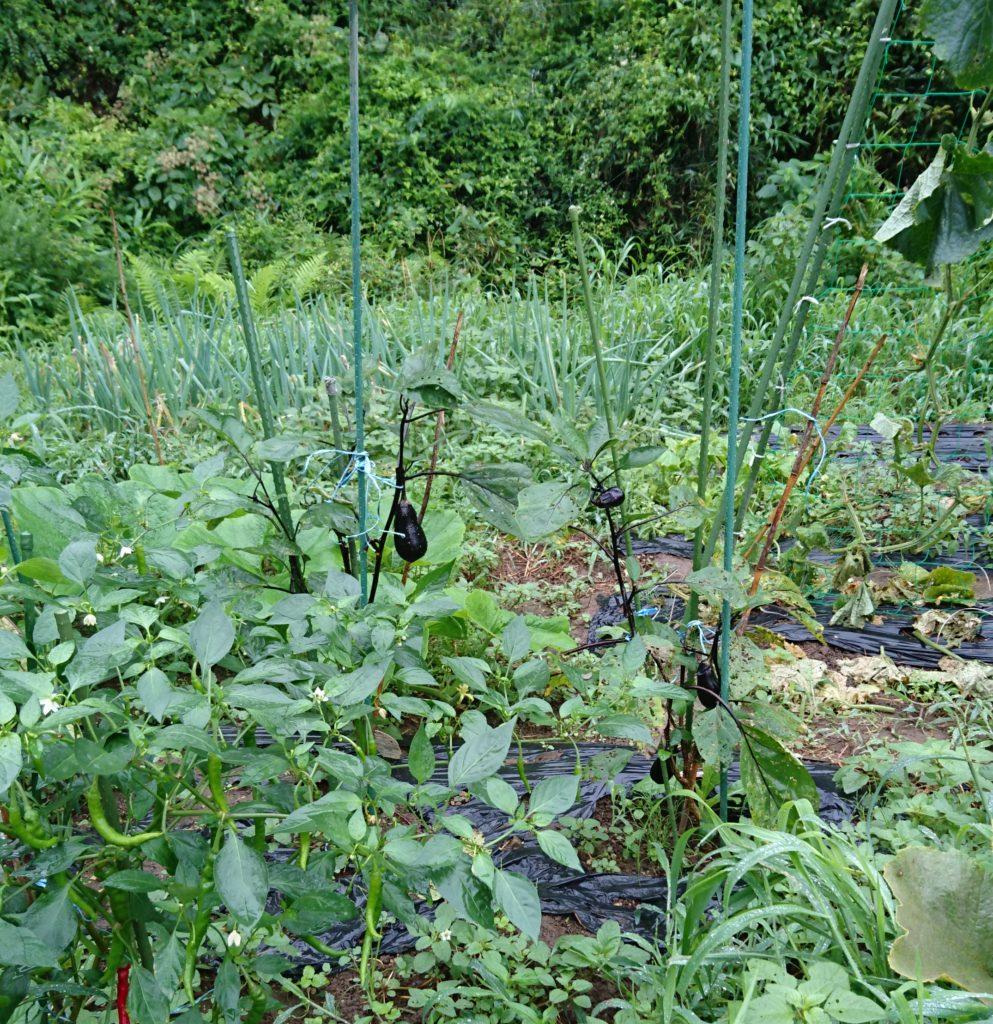 ナス家庭菜園