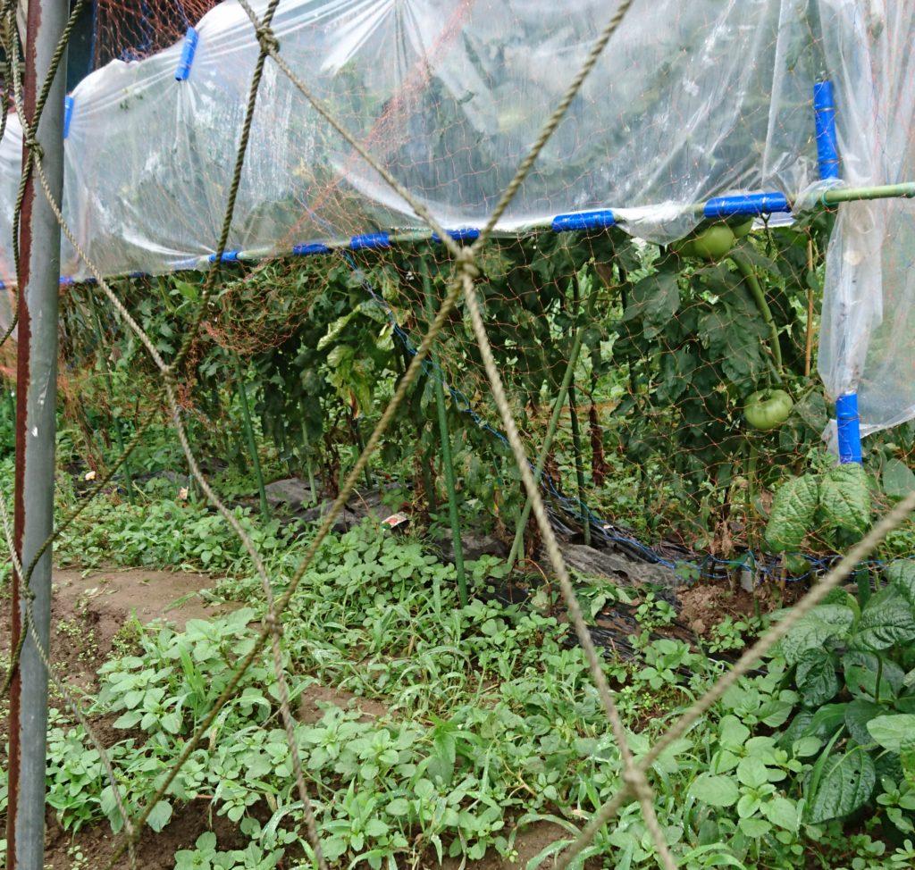 家庭菜園トマト